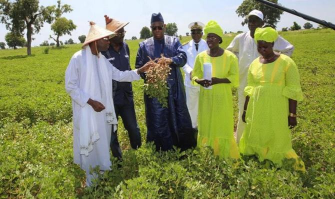 Production et commercialisation de k'arachide: vers un record de 1, 8 de tonnes, le kg à 250 F CFA