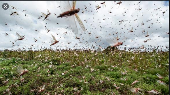 Riziculture dans la Vallée: Des champs dévastés par les rats et les criquets