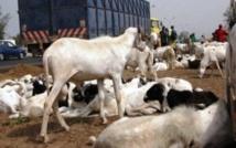 Diourbel : Un des plus grands voleurs de moutons tombe à Madinatoul