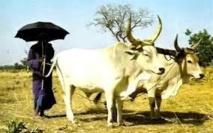 Campagne nationale de vaccination du cheptel: les éleveurs posent le problème du vol de bétail