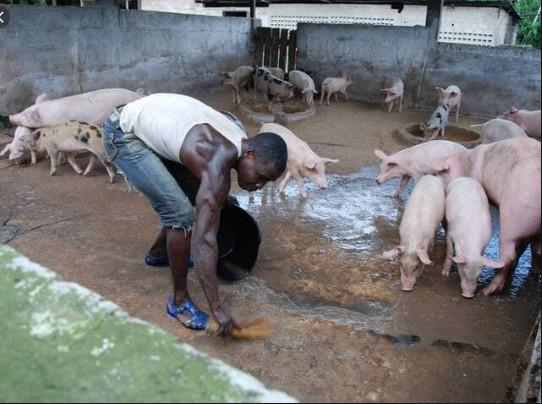 Complaintes des éleveurs de porcs: Quand le «Niamu Mbaam» devient introuvable