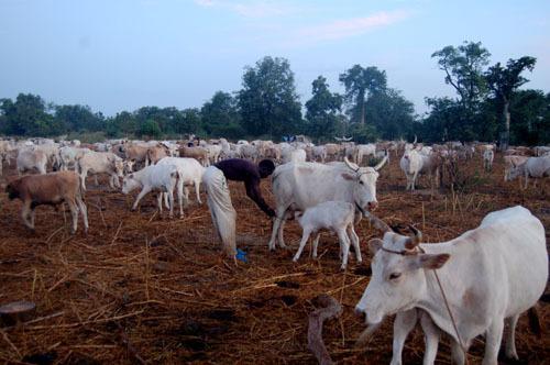 Conseil des ministres à Matam - Ranérou : épicentre de l'élevage sénégalais (Par Dr Yéro Hameth Diallo, ancien ministre de l'Elevage)