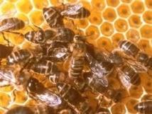 Vélingara : l'attaque d'abeilles au village de Likiring provoque un mort