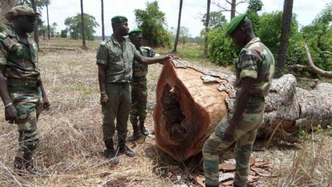 Tambacounda: la gendarmerie saisit 350 troncs d'arbres