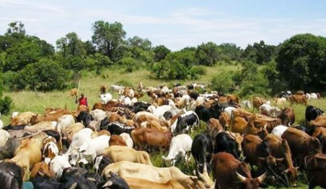 Vol de bétail à Goudomp: Un fléau transfrontalier aux racines profondes
