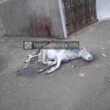 Tambacounda : Une ânesse enceinte, égorgée, dépecée et abandonnée