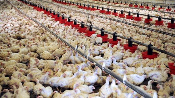 """Korité/Approvisionnement du marché en poulets: Les assurances de l'Ipas malgré une """"tension"""" en vue sur..."""