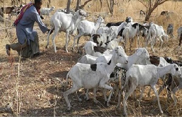 Vol de bétail à Goudiry: Le ras-le-bol des éleveurs qui haussent le ton