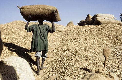 Mbacké : Les paysans boudent les semences des producteurs économiques