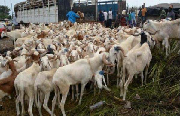 Menace pour la Tabaski : Vers le boycott du transport des moutons