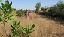 La pluie se fait rare à Bignona : les techniciens inquiets et les paysans affolés