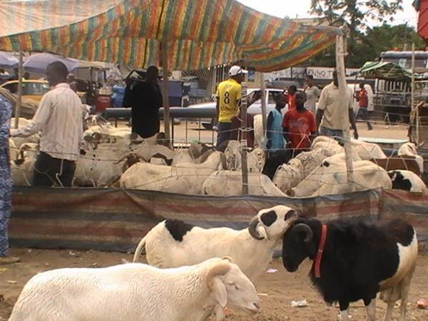 Tabaski 2021: Le ministre de l'Elevage rassure sur la disponibilité de moutons
