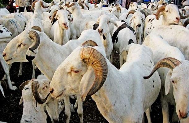Tabaski 2021 en vue : Aly Saleh Diop promet un approvisionnement suffisant de moutons