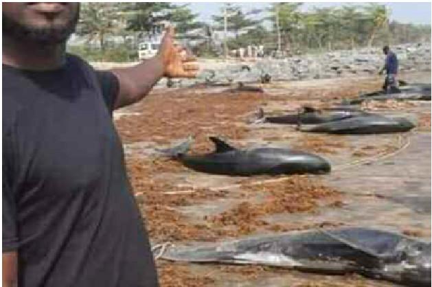 Drame Maritime : Des carcasses de tortues et de dauphins échouent sur la grande côte