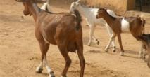 Vélingara : un présumé voleur de chèvre déféré à la MAC