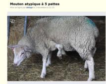 [Audio]  Un individu trouvé en train de faire l'amour à une agnelle à Touba