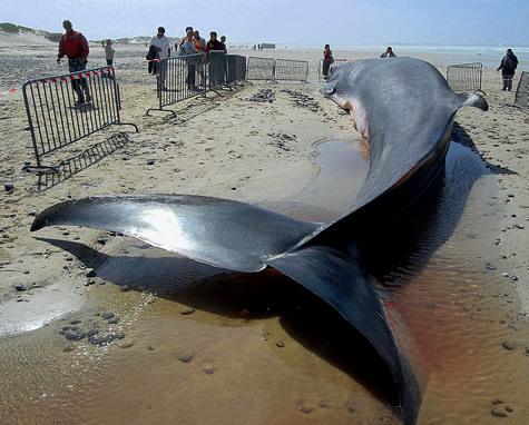 [Video] Une baleine de 15m échoue sur la plage de Warang