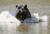 Vélingara : un pécheur tué par un hippopotame