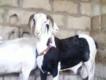 """Thiès : des moutons 'ladoum"""" de Child Fund à 2000 familles"""