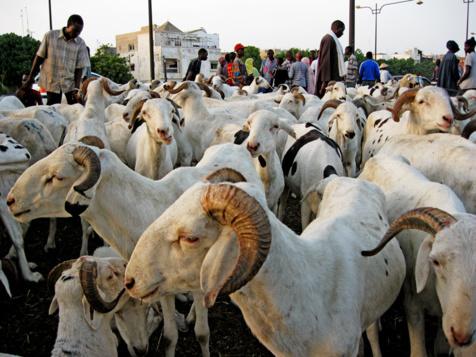 «A la date du mardi 16 septembre, nous sommes à 89 383 moutons importés…»