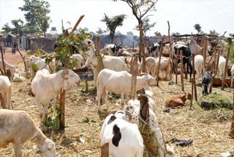 Kolda – 3 voleurs  de moutons, dont un mineur, et 2 receleurs arrêtés à Sikilo