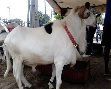 """Tabaski 2014: Des responsables de l'APR vont offrir un mouton """"ladoum"""" à Me Wade"""