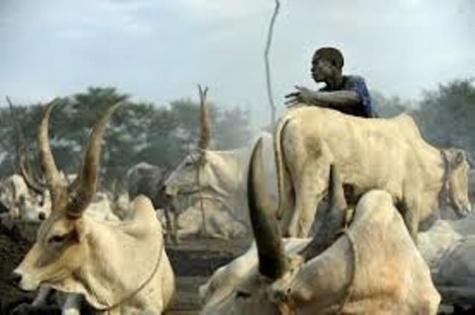 Kolda: Un chef de village parmi les voleurs de bétail arrêtés