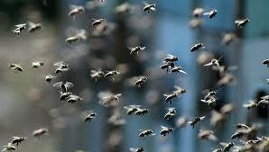 Thiès: Un mort et plusieurs blessés dans une attaque d'abeilles