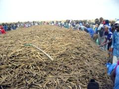 Récolte des champs de Khelcom : Les chrétiens de Fatick se sont distingués par leur bravoure