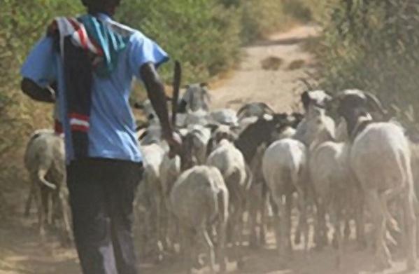 Sédhiou : Les éleveurs protestent contre le vol de bétail