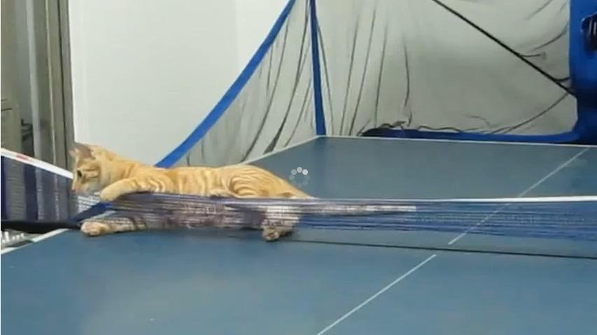 Découvrez ce chat qui est un vrai champion de ping-pong
