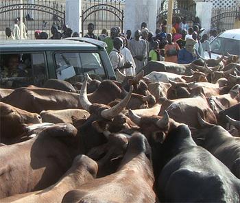 Cheikh Béthio fait circuler dans Touba plus de 2000 boeufs