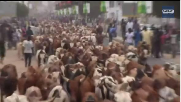 Magal-L'impressionnant troupeau de boeufs, chameaux et moutons de Cheikh Béthio