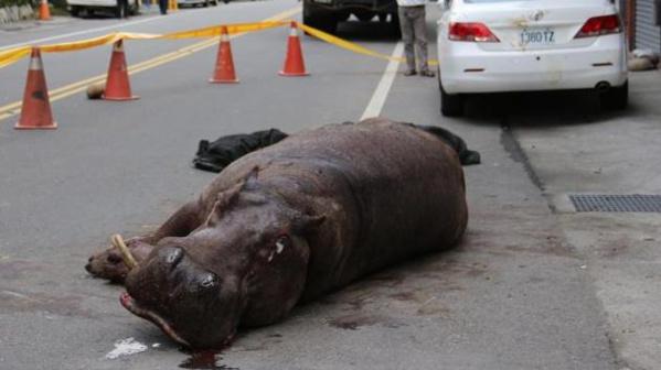 Taïwan : un hippopotame pleure après être tombé d'un camion