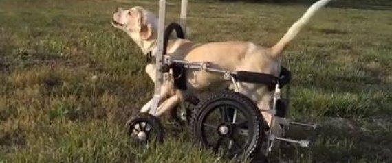 Ce chien paralysé qui a réappris à marcher nous rappelle pourquoi tout le monde mérite une deuxième chance !