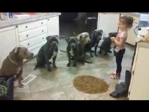 Une petite fille de 4 ans sert le dîner à 6 Pit bulls affamés ! Qui a dit que les Pit Bulls étaient méchants ?
