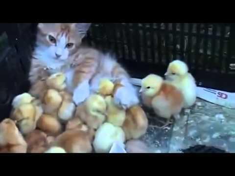 Abandonnés, ces petits poussins ne peuvent pas se séparer de cette chatte.
