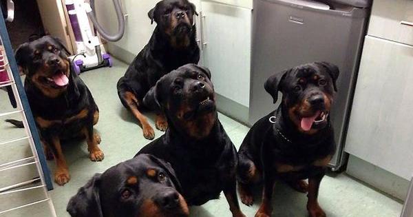 Voici comment 4 rottweilers ont sauvé la vie d'une femme de 80 ans ! Aucun humain n'aurait pu faire ça...