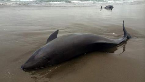 Les dauphins prédisent-ils les tremblements de terre?