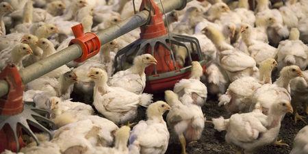 Grippe aviaire : des millions de volailles vont devoir être abattues aux Etats-Unis