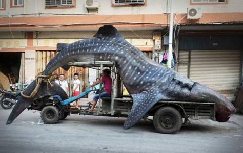 22 chargements hors du commun. Le 20ème transporte un requin-baleine !