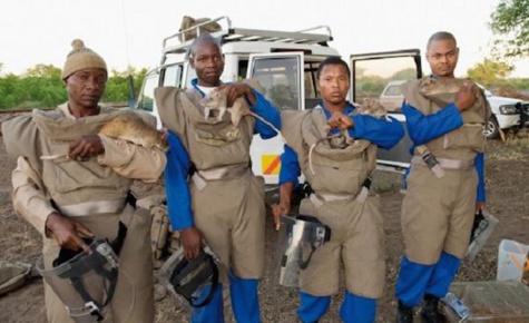 Des rats dressés sauvent des milliers de vie en Afrique... Découvrez comment !