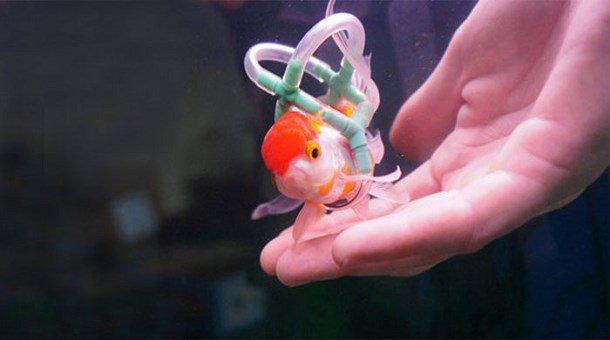 Un homme construit un petit fauteuil flottant pour son poisson handicapé...