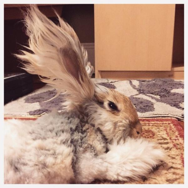 On a découvert le lapin avec les plus grandes oreilles de toute la toile… Il faut le voir pour y croire !