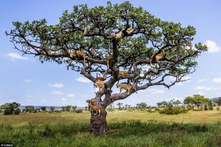 Pour fuir une nuée de mouches, ces 15 lions ont décidé de finir leur sieste... dans un arbre