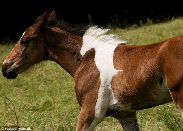 Ce poulain est né avec une extraordinaire particularité... Saurez-vous voir laquelle ?