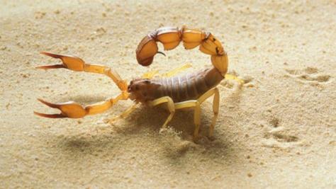 Louga : Un scorpion tue une fillette de 5 ans à Ndiagne