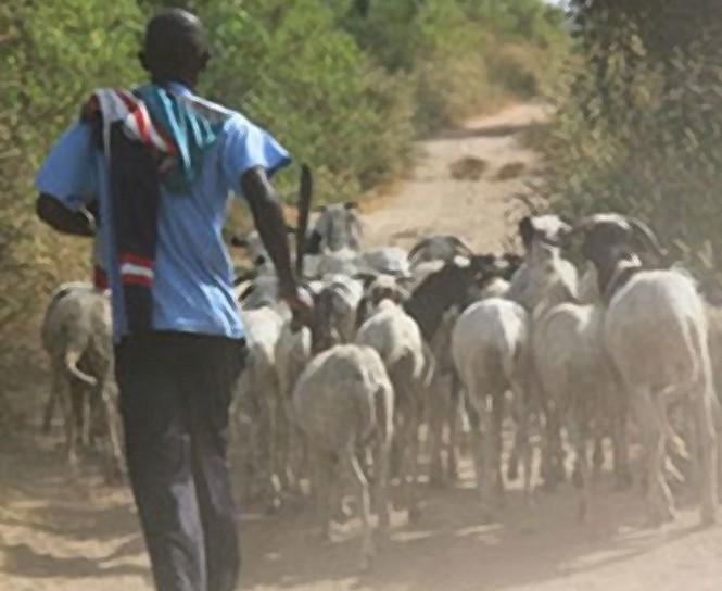 Dahra Djoloff : Les voleurs dérobent les moutons de Tabaski de l'adjoint au sous-préfet de Sagatta