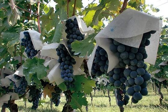 Le reportage de Slate qui prouve l'existence de vignoble : A la découverte d'un vin 100% sénégalais