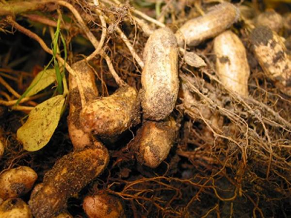 Campagne arachidière et revente des récoltes aux Chinois: Les craintes d'Ibrahima Badiane
